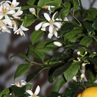 Lemon blossoms…