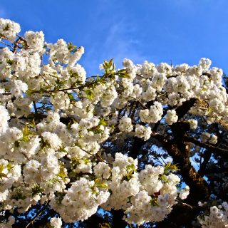 Celebrating Cherry Blossoms, from coast to coast…