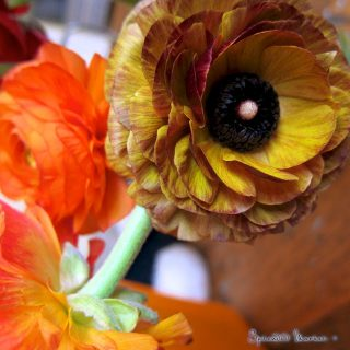 Ranunculus and aid for the tornado victims…