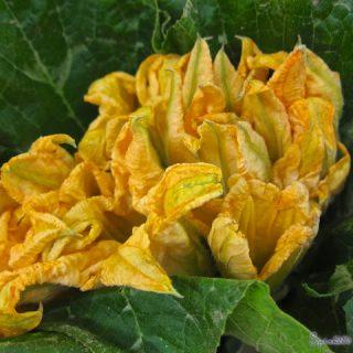 Fleurs de Courgettes…