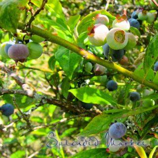 blueberry bounty…
