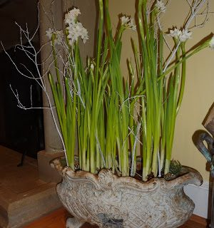 The fragrance of Paperwhites