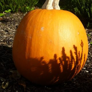 Pumpkin Diversity
