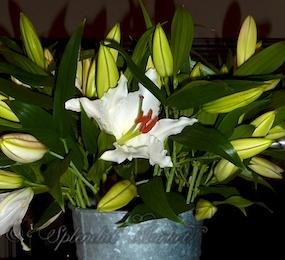 Blanc blooms…
