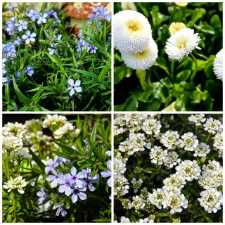 The blue and white garden …