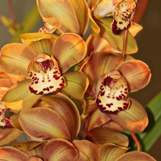 Long Lasting Autumn Orchid arrangement…
