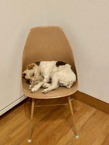 taxidermy dog on chair