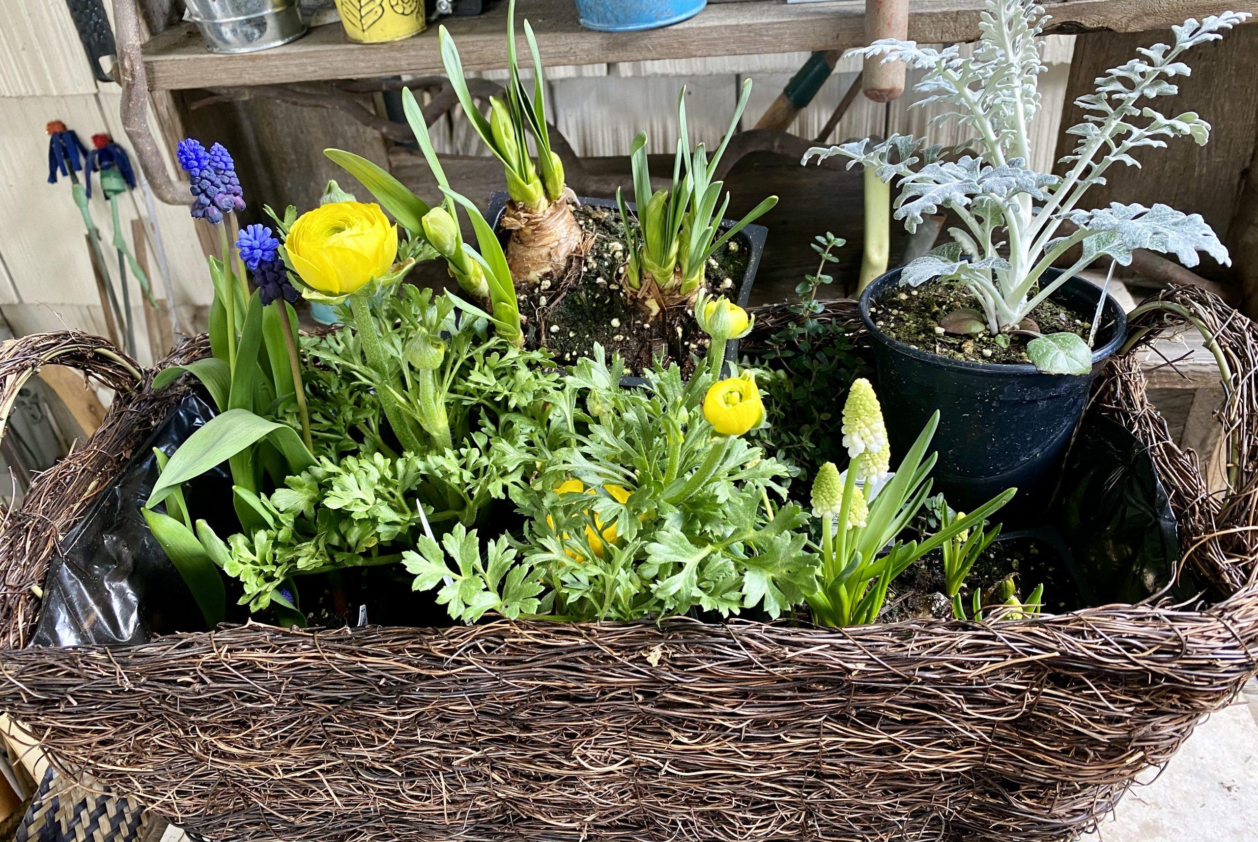 Flower collection, hyacinths, ranunculus, daffodils, dusty millers, thyme, fern, grape hyacinths, white hyacinths