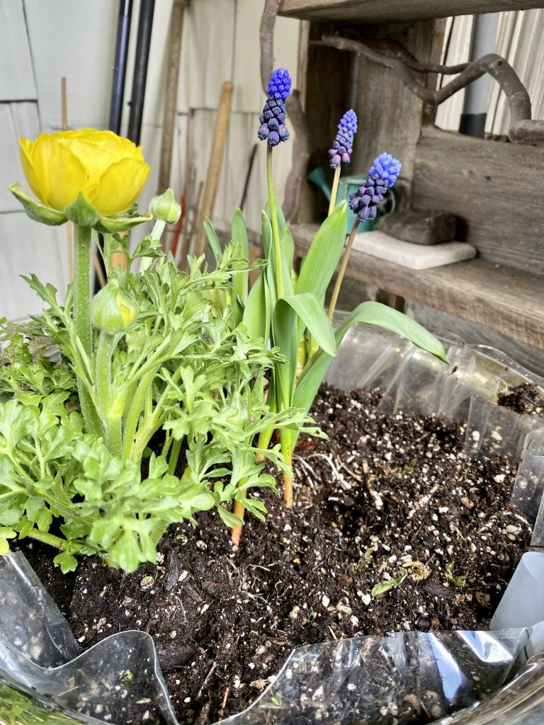 Grape hyacinths, ranunculus, indoor flower garden, silver punch bowl, how to make an indoor flower garden