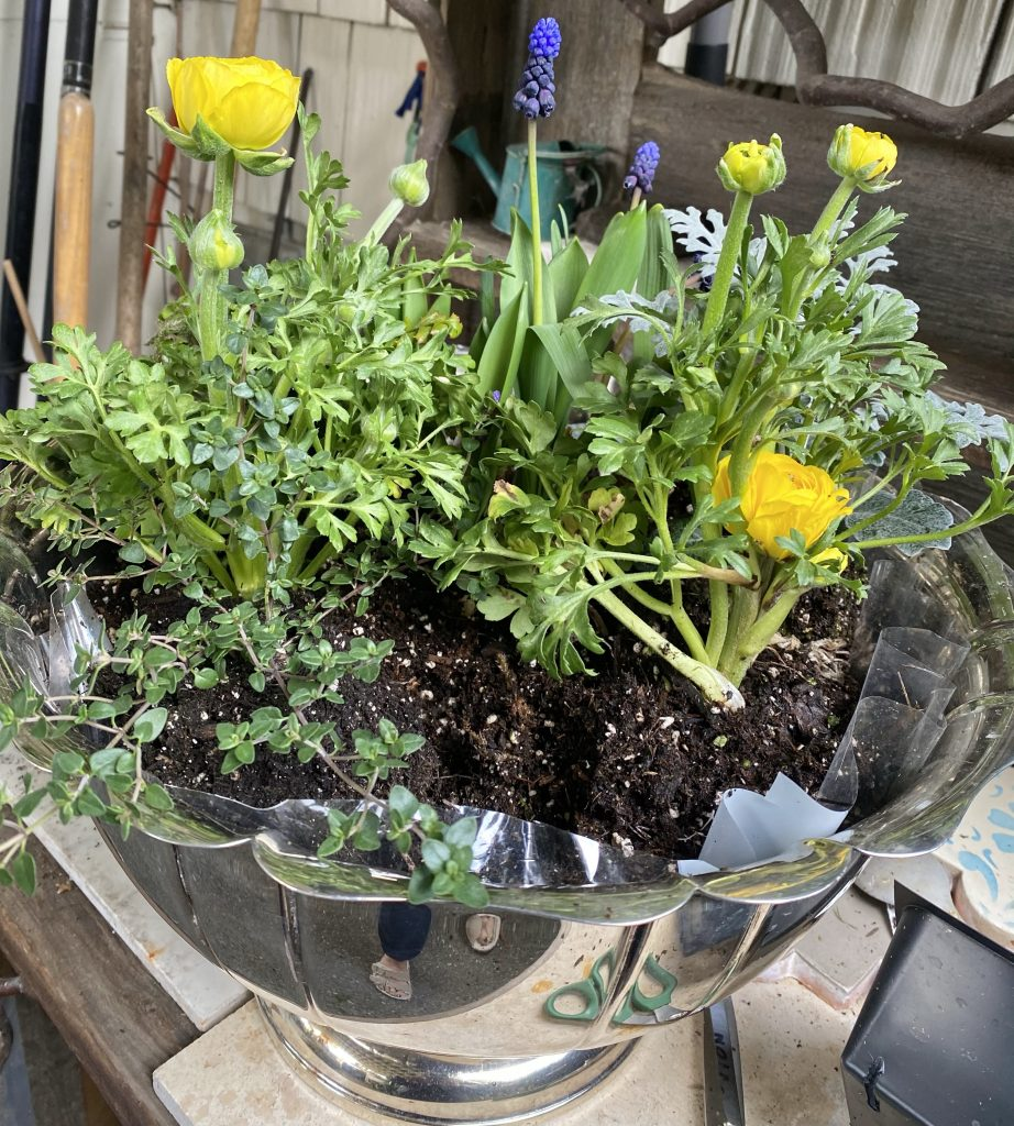 Indoor bulb garden, silver punch bowl, yellow ranunculus, grape hyacinths, muscari