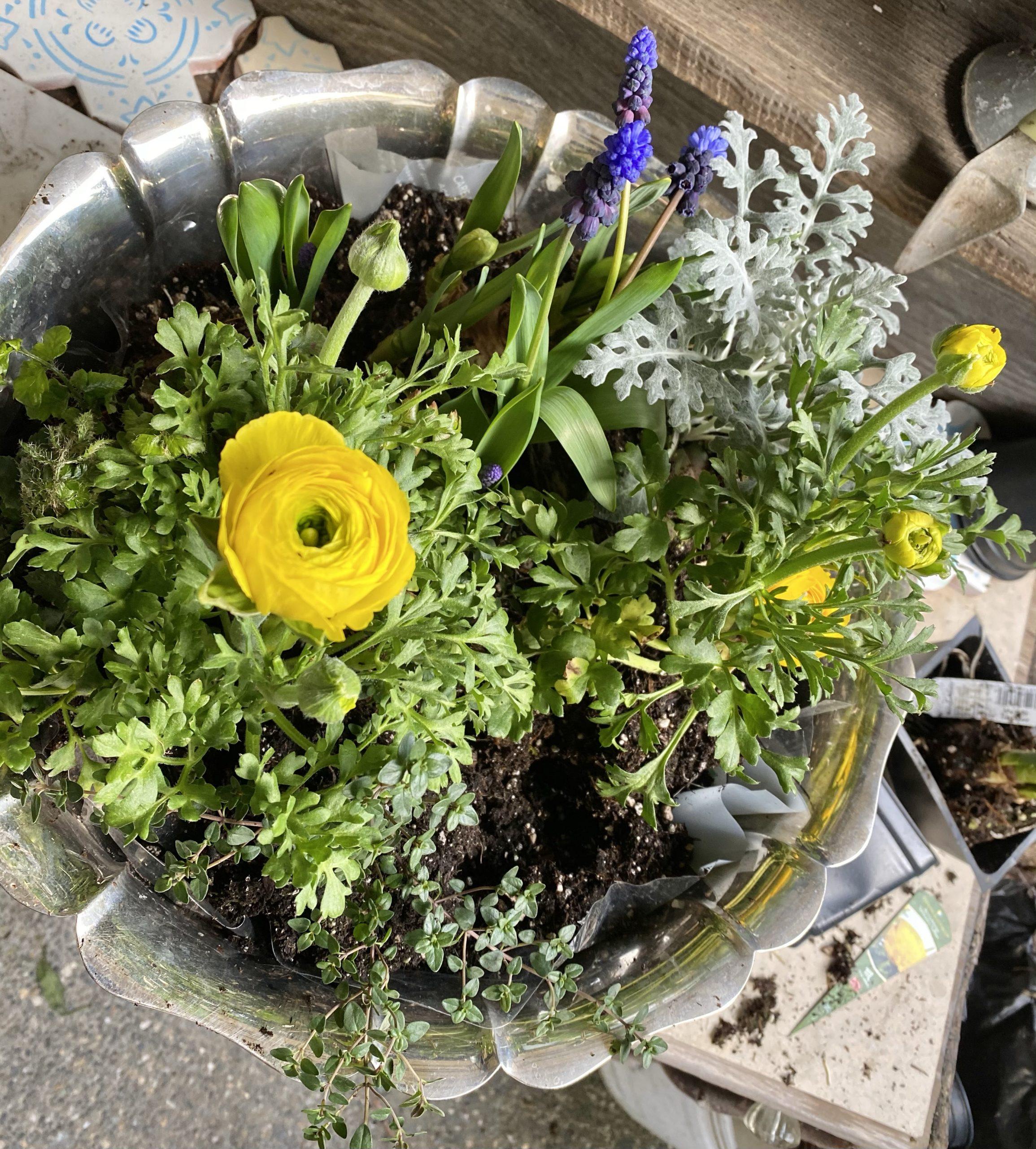 Indoor bulb garden, silver punch bowl, yellow ranunculus, grape hyacinths, muscari, thyme, dusty miller