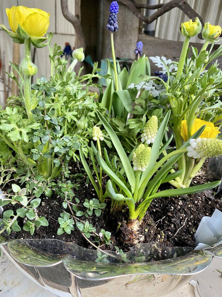 Indoor bulb garden, silver punch bowl, yellow ranunculus, grape hyacinths, muscari, thyme