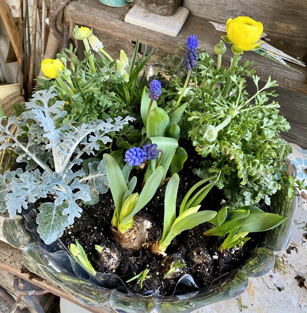 Indoor bulb garden, silver punch bowl, yellow ranunculus, grape hyacinths, muscari, dusty miller, fern