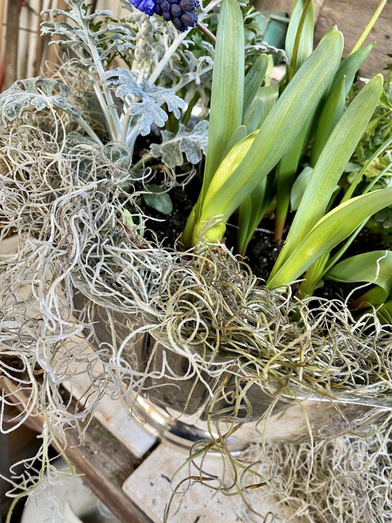 Indoor bulb garden, silver punch bowl, spanish moss, dusty miller