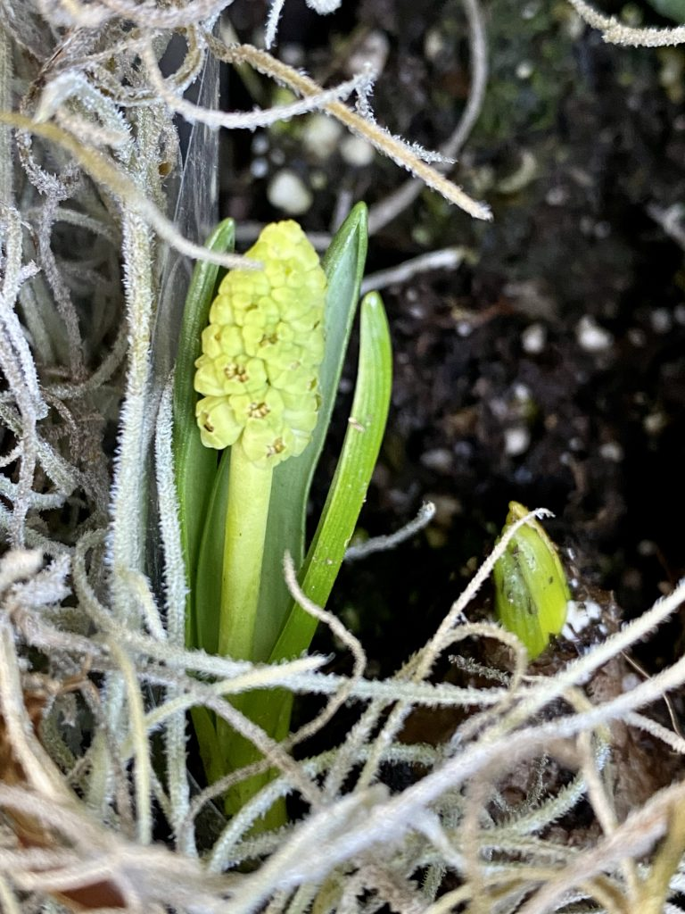 Indoor bulb garden, silver punch bowl, grape hyacinths, muscari, spanish moss, how to create an indoor garden