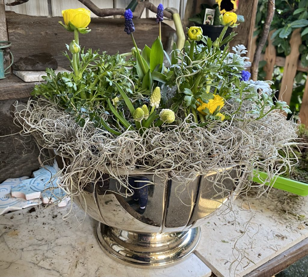Indoor bulb garden, silver punch bowl, yellow ranunculus, grape hyacinths, muscari, spanish moss, how to create an indoor garden, dusty miller