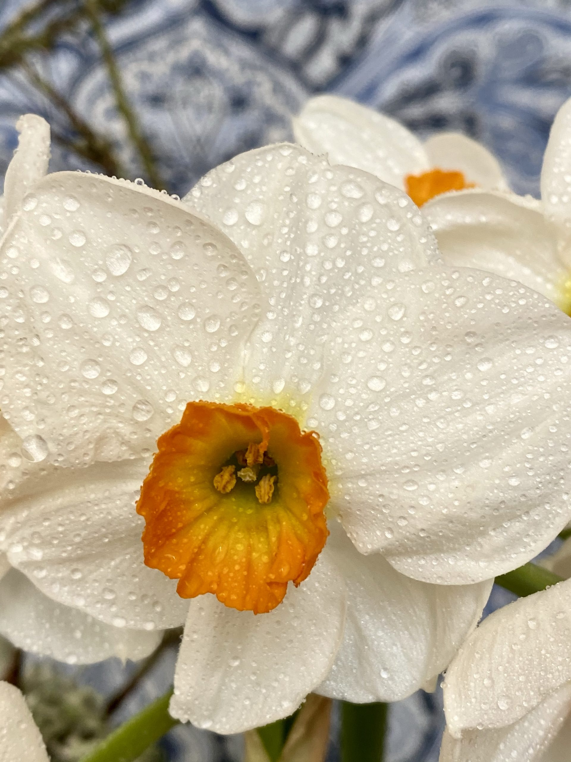 misted daffodil, daffodil close up, daffodil with white petals and yellow-orange trumpet
