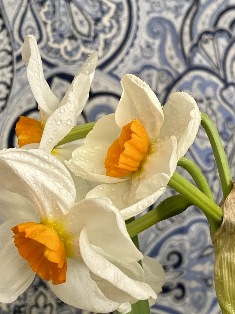 Daffodils in bloom, blue and white paisley background, white petals, saffron trumpet, orange yellow trumpet