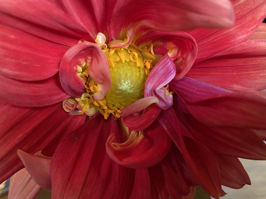 Dahlia, garden flowers, fresh dahlia bouquets